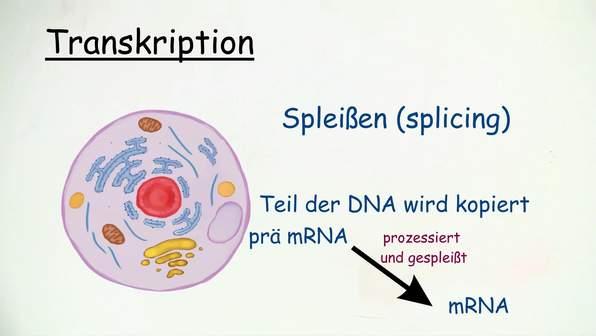 Transkription und RNA Prozessierung
