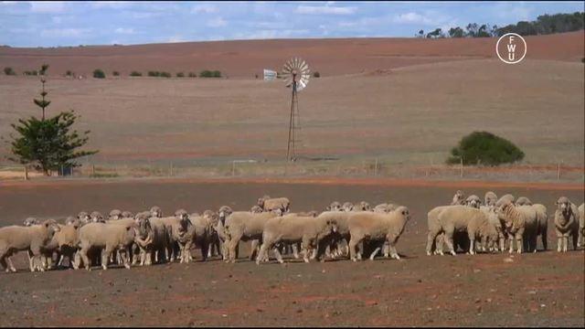 Wollproduktion in Australien