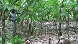 Kakaoanbau und Kakaoernte