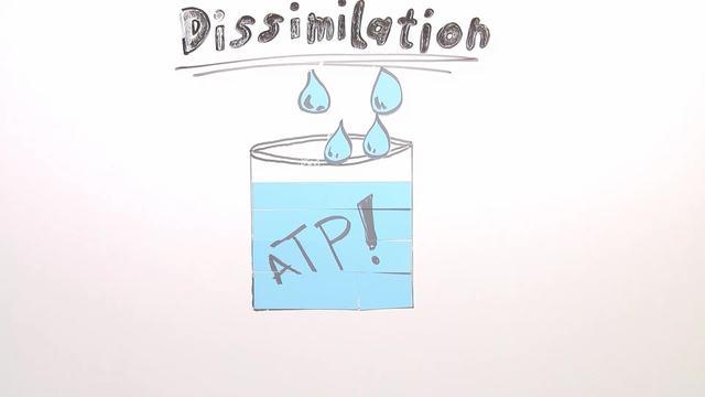 Dissimilation – Zellatmung – Biologie online lernen