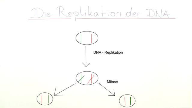 Replikation der DNA – Biologie online lernen